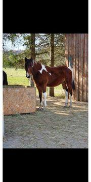 Paint Horse Hengst Jährling geb