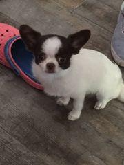 RESERVIERT Chihuahua-Mischling Rüde 7 Monate