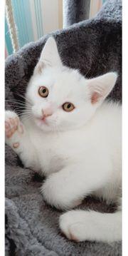 4 weiße BKH Kitten