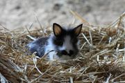 Zwergkaninchen kaninchen Hase Löwenkopf Widder