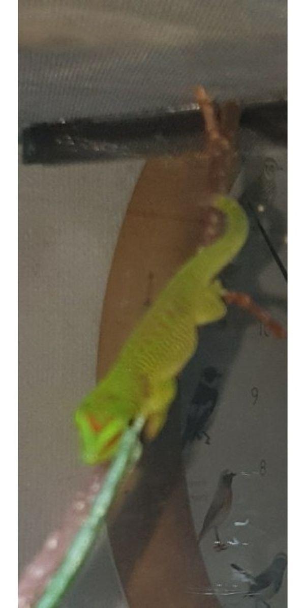 Phelsuma laticauda Goldstaubtaggecko
