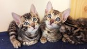 zwei süße Bengal Kitten Bengalkatzen