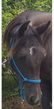 Quarter Horse Stute Black Sky