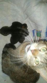 zuckersüße Europäisch Kurzhaar Kitten