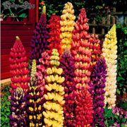 10 Blumensamen Lupinen Mix-sinensis Linn