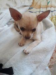 Chihuahua welpen aus Zucht
