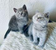 bkh blue Kitten