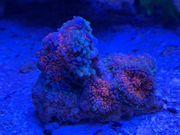 Meerwasser Anemonen