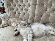 Scottisch Fold Kitten Alter Katzenbaby