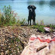 Deckrüde - Charcoal Labrador Retriever