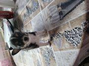 Welpen Chihuahua zwerge