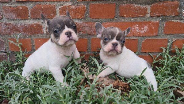 französische bulldoggen 1 Mädchen 1