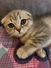 hübsche Silver shade Kätzchen Schottish