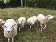 Schafe Mutterlämmer Texel Schwarzkopf