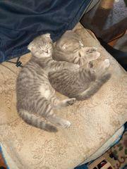 Bkh scottish fold Katzen
