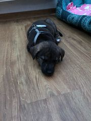 Schäferhund Welpe 12 Wochen Hündin