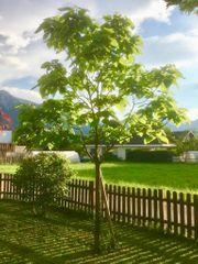 Trompetenbaum groß