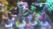 Meerwasser Korallen Ableger Acroporas