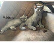 BKH Britisch Kurzhaar kitten Katzen