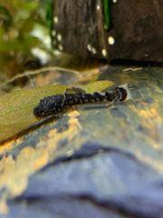 Braune Baby Antennenwelse Fische 5