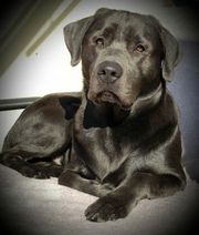 Labrador Deckrüde Air-Buddy-vom-Amselweg charcoal Arbeitslinie