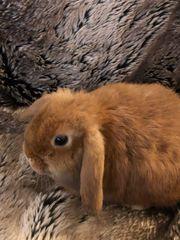 Zwergkaninchen Kaninchen Zwergwidder weiblich