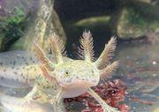 Schöner Axolotl BD frei Versand