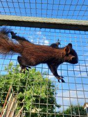Junge Eichhörnchen abzugeben