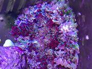 Anemone MinMax Anemone Stichodactyla tapetum