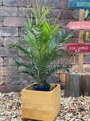 Kanarische Dattelpalme Palme