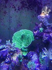 Montiporaplatte Grün Meerwasser
