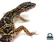 Leopardgecko Black Night Mack Snow