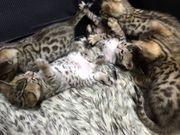 Reinrassige Bengal Kitten mit sehr