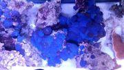 korallen meerwasser XXL Tiere Lebendgestein