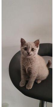 BKH kitten Lillac mit stammbaum