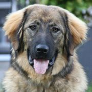 DRINGEND Aria 9 Monate - Leonberger-Sarplaninac-Mix -