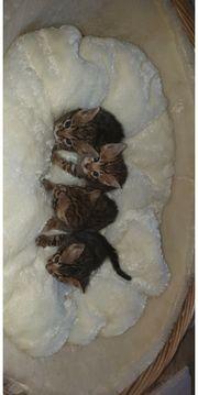 Bengal kitten in atemberaubenden Farben
