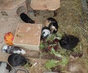 Meerschweinchen Frühkastrate aus Vereinszucht