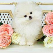 Teacup oder Mini Pomeranian gesucht