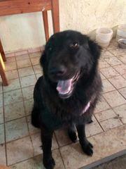 Schwarzer Schäferhundmix sucht zu Hause