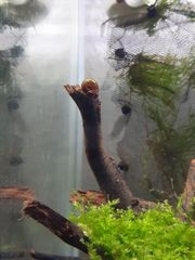 Posthornschnecken Blasenschnecken Futterschnecken