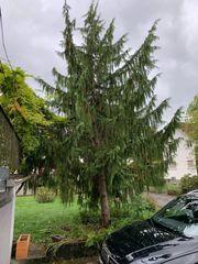 Verschenken 2 große Bäume - Baum