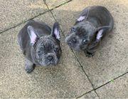 Französische bulldogge Welpen suchen liebevolles