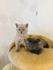 Kitten BKH Scottish Fold