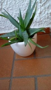 Aloe Vera Pflanze