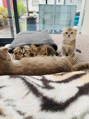 Katzenbabys Schottische Faltohr Britisch Kurzhaar