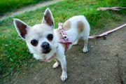 Daffy senior Chihuahua Hündin