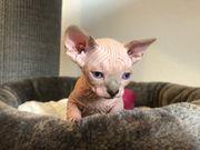 Sphynx Kätzchen eine Mädchen noch