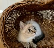 Kitten Bkh Siam mix abgabebereit
