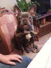 Französische Bulldogge 10 Monate frei